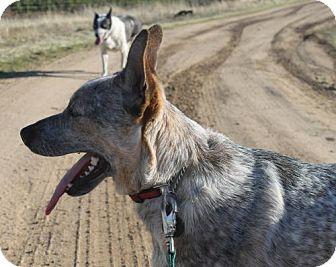 Australian Cattle Dog Dog for adoption in Paso Robles, California - Tyler