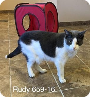 Domestic Shorthair Cat for adoption in Cumming, Georgia - Rudy
