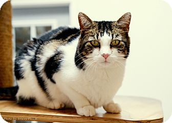 Domestic Shorthair Cat for adoption in Hartville, Wyoming - Chester