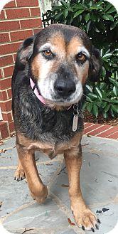 Beagle Mix Dog for adoption in Charlotte, North Carolina - Gwen