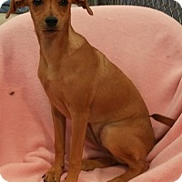 Chihuahua Mix Dog for adoption in Dallas, Texas - GRETCHEN