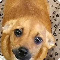 Dachshund/Chihuahua Mix Dog for adoption in Anderson, South Carolina - DIESEL