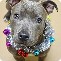 Adopt A Pet :: Nova - Dublin, CA