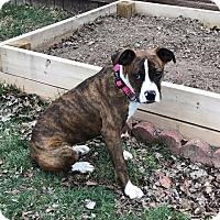 Adopt A Pet :: Diamondd - New Oxford, PA