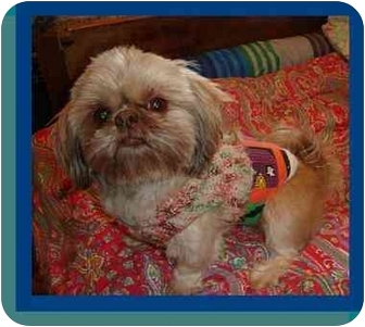 Shih Tzu Dog for adoption in Berlin, Wisconsin - Filbert