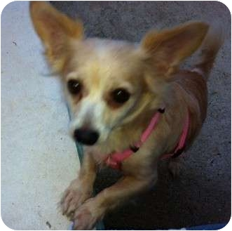 Papillon Mix Dog for adoption in New Jersey, New Jersey - NJ - Tiffany