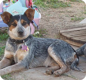 Australian Cattle Dog Mix Dog for adoption in Phoenix, Arizona - Dorothy Barker