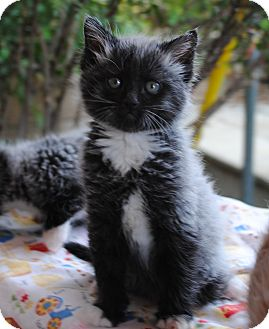 Domestic Mediumhair Kitten for adoption in Palmdale, California - Steinway & Beethoven