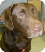 Labrador Retriever Dog for adoption in Lincolnton, North Carolina - Sweet Pea Choc Lab