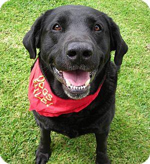 Labrador Retriever Dog for adoption in El Cajon, California - Astro