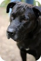 Labrador Retriever Mix Dog for adoption in Tinton Falls, New Jersey - Winston