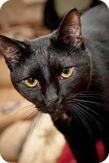 Domestic Shorthair Cat for adoption in Havana, Florida - Magnum