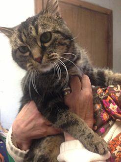 Domestic Shorthair Cat for adoption in Menomonee Falls, Wisconsin - Cookie