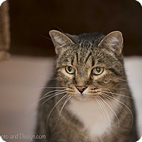Adopt A Pet :: Tiger/Declawed - Fountain Hills, AZ