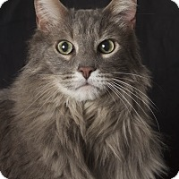 Adopt A Pet :: Chaz - Gilbert, AZ