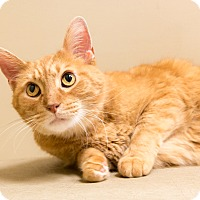 Adopt A Pet :: Señor Kitty - Chicago, IL