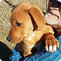 Adopt A Pet :: Gracie - Williston, FL