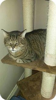Domestic Shorthair Cat for adoption in Brampton, Ontario - Rocki