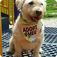 Wheaten Terrier Mix Dog for adoption in Charlotte, North Carolina - Fozzy