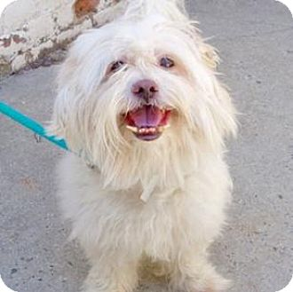 Lhasa Apso Dog for adoption in Ridgefield, Connecticut - Simba
