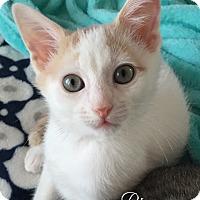 Domestic Shorthair Kitten for adoption in Island Park, New York - Ringo