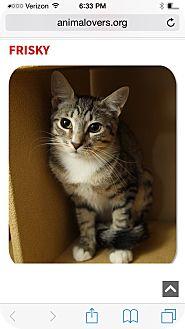Domestic Shorthair Kitten for adoption in Albany, New York - Frisky