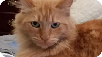 Domestic Longhair Cat for adoption in Temecula, California - Ginger