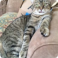 Adopt A Pet :: Bojangles - Merrifield, VA