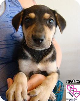 Doberman Pinscher Mix Puppy for adoption in Canutillo, Texas - Stockton
