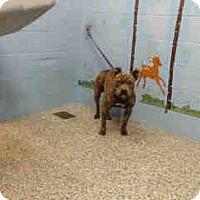 Pit Bull Terrier Mix Dog for adoption in San Bernardino, California - URGENT ON 12/6  San Bernardino