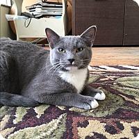Domestic Shorthair Kitten for adoption in San Jose, California - Niles