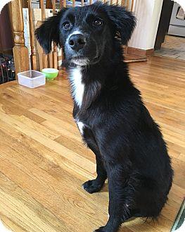 Flat-Coated Retriever/Labrador Retriever Mix Puppy for adoption in Sagaponack, New York - Faith