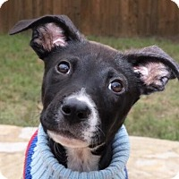 Adopt A Pet :: Tiny Tim - Austin, TX