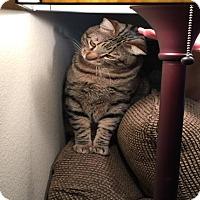 Adopt A Pet :: REGGIE (DECLAWED) - Mesa, AZ