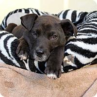 Adopt A Pet :: Doyle - Los Angeles, CA