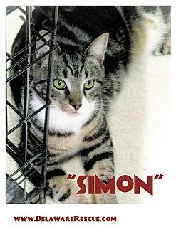 Domestic Shorthair Kitten for adoption in Seaford, Delaware - Simon
