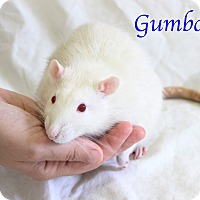 Adopt A Pet :: Gumbo - Bradenton, FL
