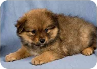 Pomeranian Mix Puppy for adoption in Anna, Illinois - DAVY