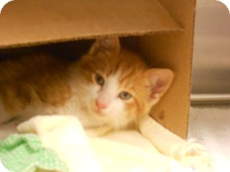 Domestic Shorthair Kitten for adoption in Maywood, New Jersey - Taz