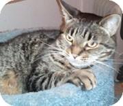 Domestic Shorthair Cat for adoption in Anchorage, Alaska - Angel