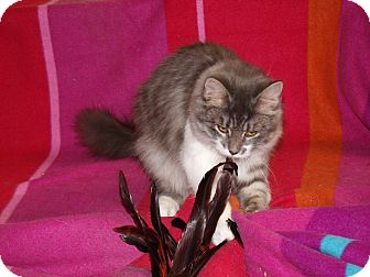 Domestic Mediumhair Cat for adoption in Scottsdale, Arizona - Liffy-silver tuxedo-diva