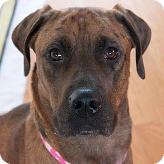 Boxer/Shepherd (Unknown Type) Mix Dog for adoption in Douglas, Ontario - Fiona