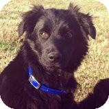 Border Collie Mix Puppy for adoption in Russellville, Kentucky - Fonzie