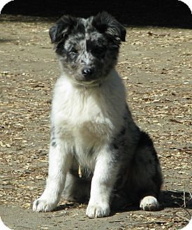 Australian Shepherd Puppy for adoption in Somers, Connecticut - Chap