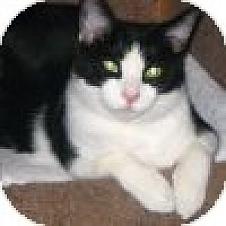 Domestic Shorthair Cat for adoption in Powell, Ohio - Rascal