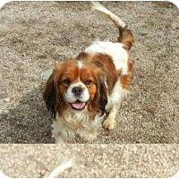 Adopt A Pet :: Chan - Antioch, IL