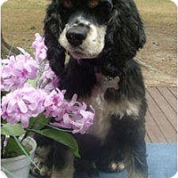 Adopt A Pet :: Gus - Sugarland, TX