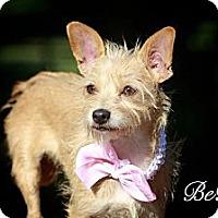 Adopt A Pet :: BeBop - Albany, NY