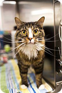 Maine Coon Cat for adoption in Keller, Texas - Waylon