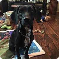 Adopt A Pet :: Stacia - Plainfield, IL